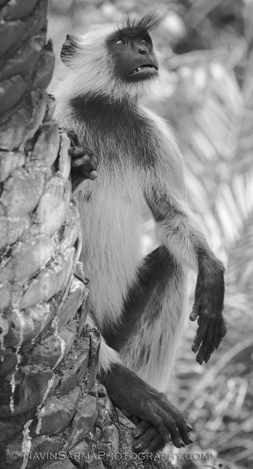 A Langur monkey checks the scene as he approaches to attack our car!
