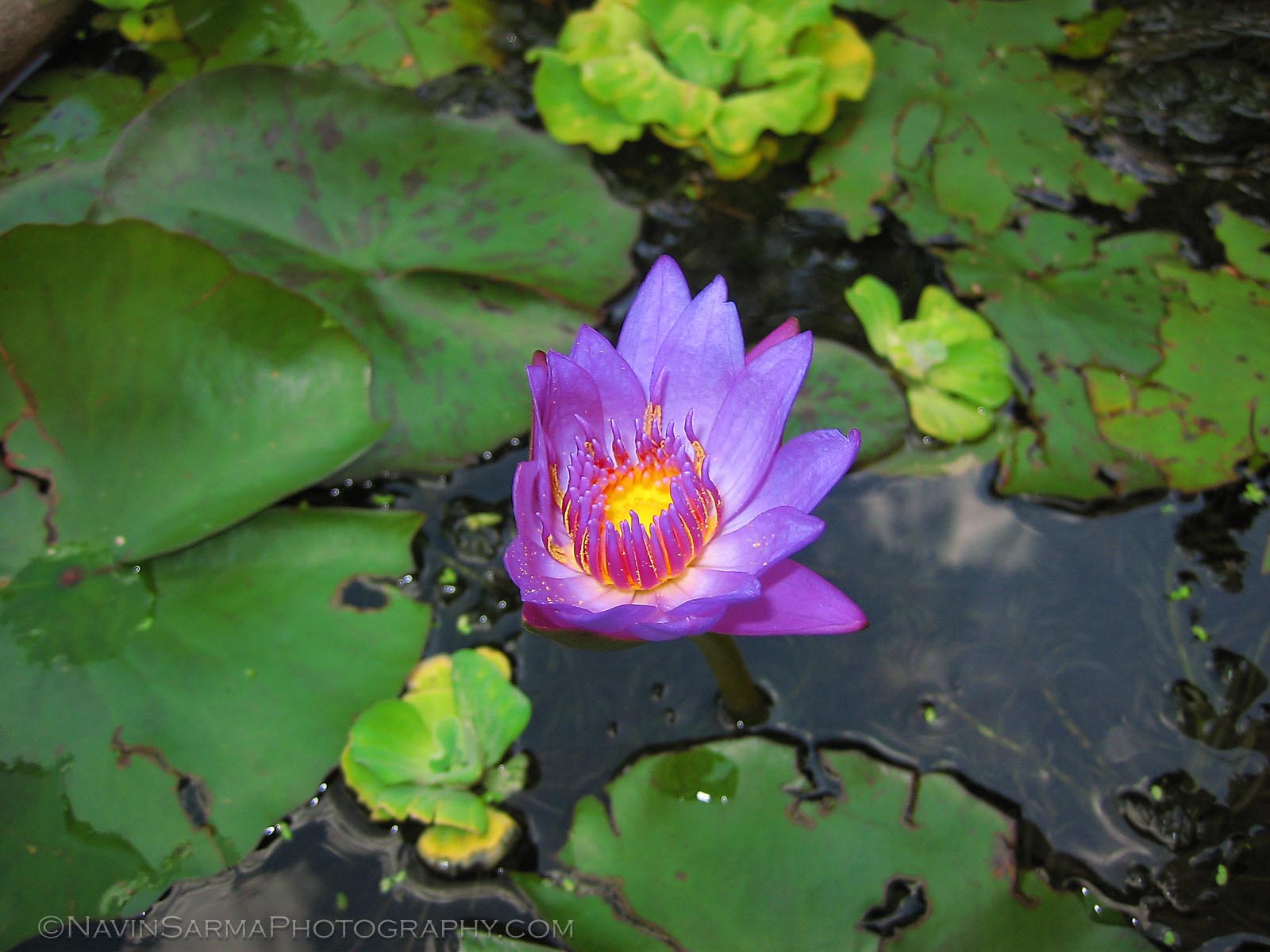 Lily Pad Thailand