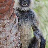 A Langur monkey threatens by showing its vicious teeth.