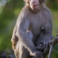 Monkey Scout