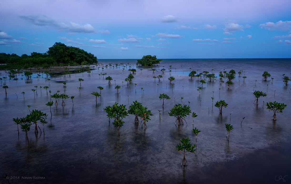Tide brushes over young mangroves that line the north end of Caye Caulker, Belize