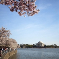 Jefferson Memorial Cherry Blossom