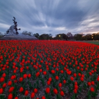 red_tulips_sunset_washington_dc_navy_merchant_marine