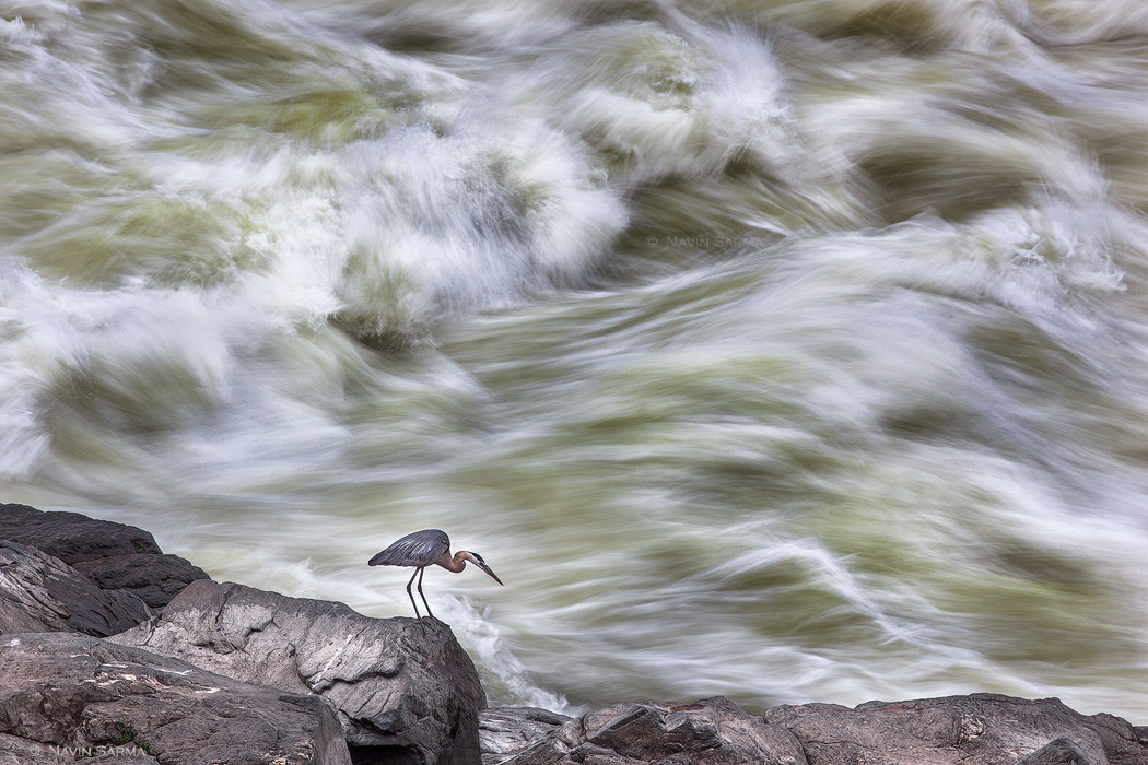 A great blue heron scales a strip of bedrock near the violent rapids of Great Falls