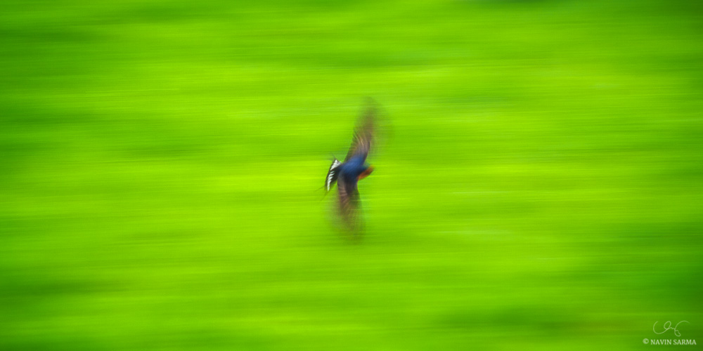 A colorful bird flys through a green field in Darwin, Australia