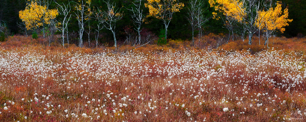 Beautiful contrasts of orange, white, and yellow at a marsh in Blackwater Falls State Park