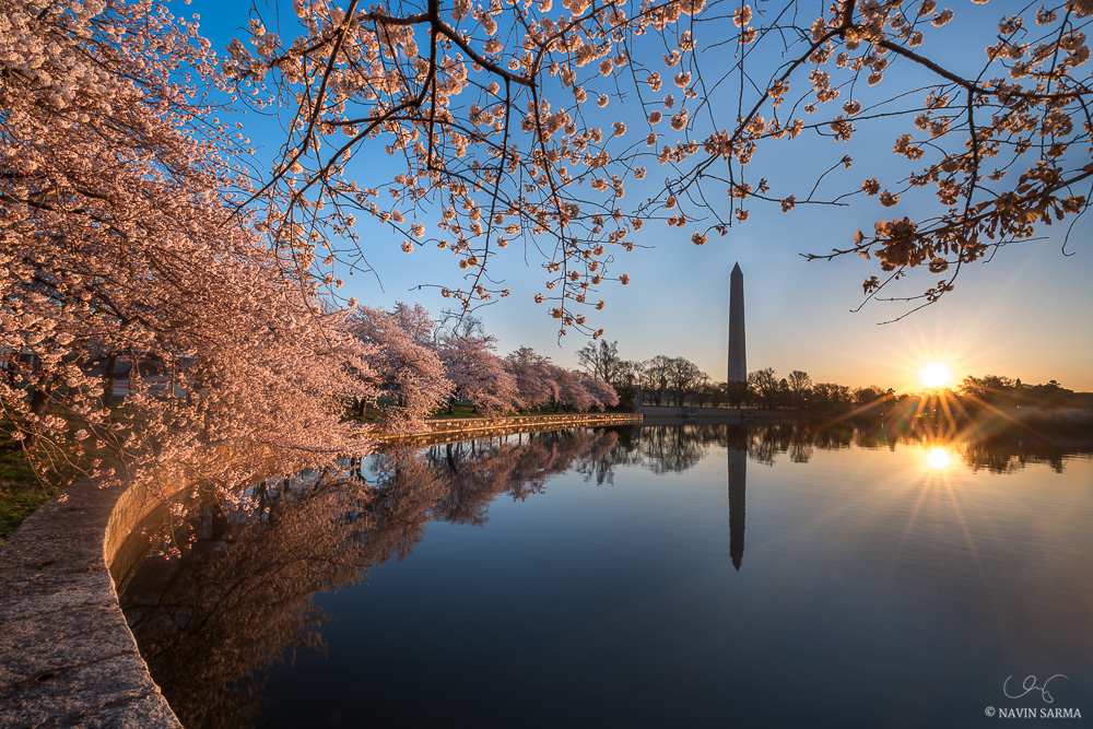 Peak cherry blossoms at sunrise at the Tidal Basin of Washington DC