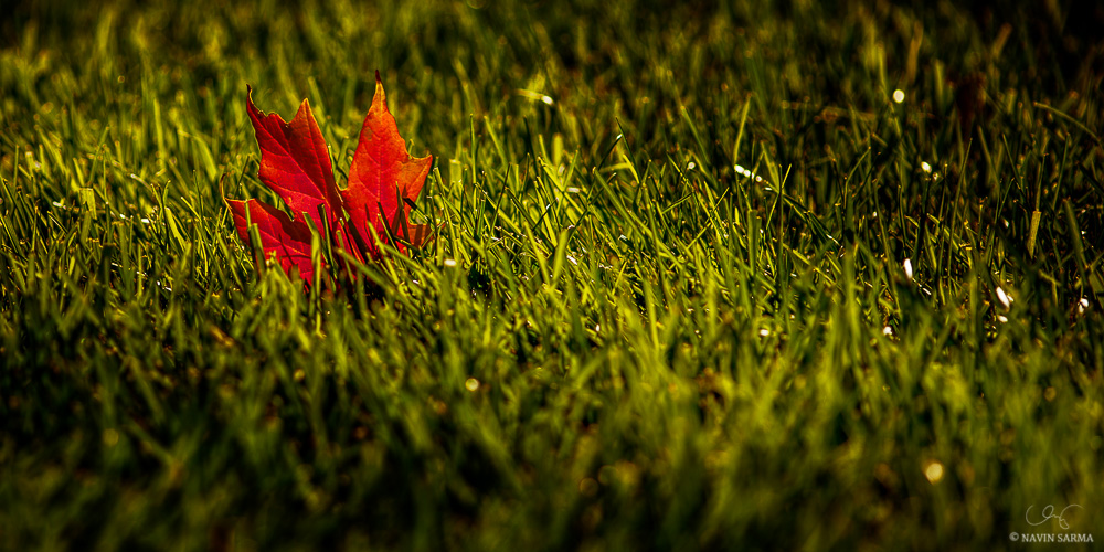 A lone fall leaf in the sunlight as fall begins to take shape