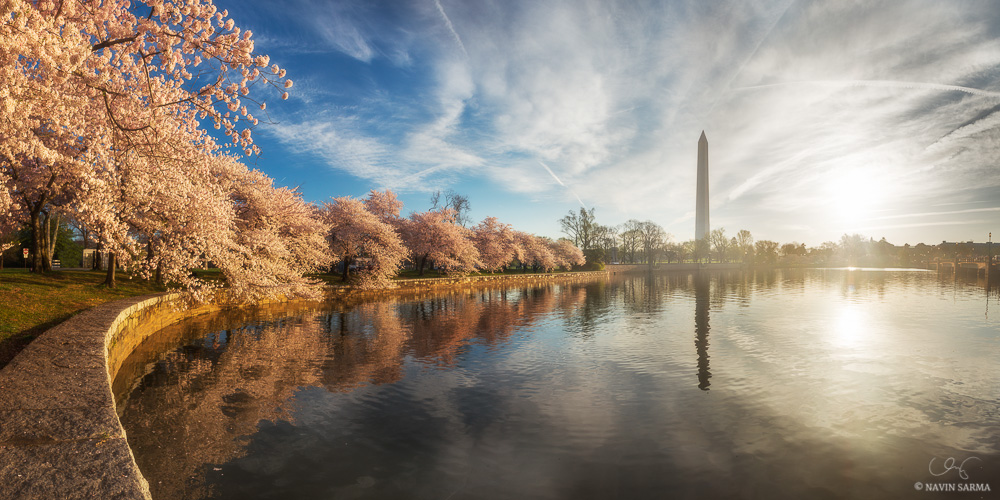 A panorama of peak cherry blossoms at the Tidal Basin of Washington DC