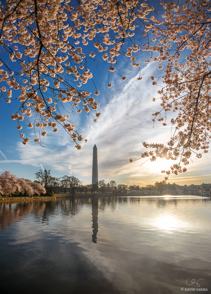 Peak cherry blossoms at the Tidal Basin of Washington DC and the Washington Monument