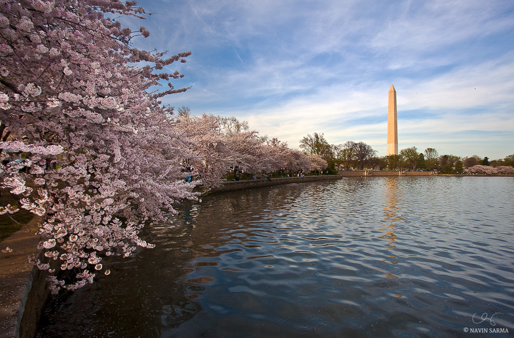 Cherry blossoms line the Tidal Basin in Washington, D.C.