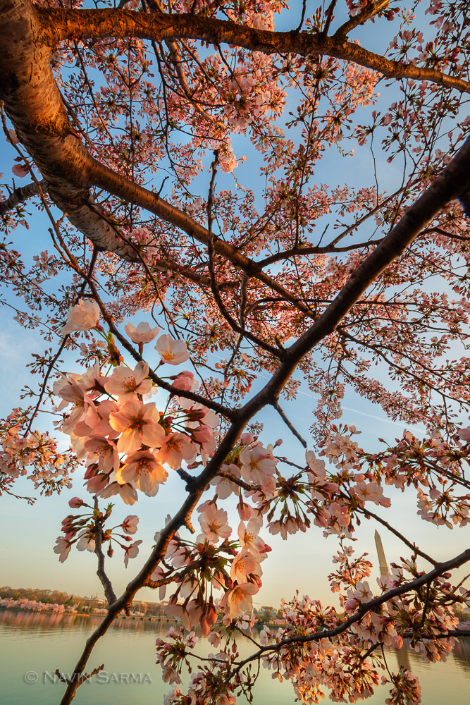The Washington Monument peaks out from under a zigzag of Cherry Blossoms at the Tidal Basin