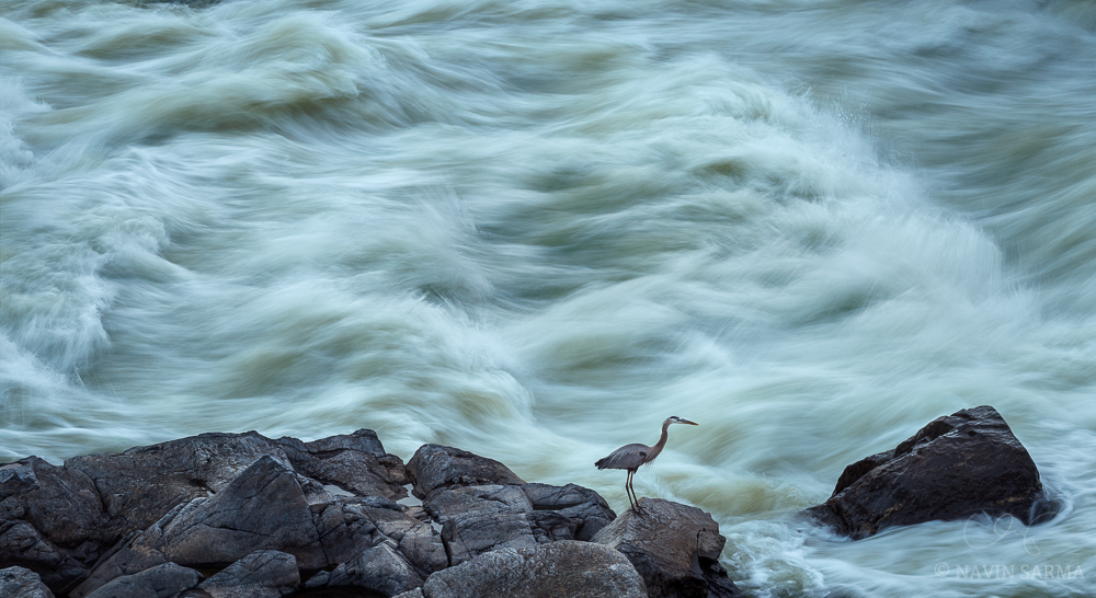 A great blue heron along the shores of Great Falls MD