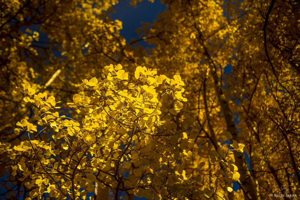 Sunlight spotlights a section of aspen lealves amongst a yellow Aspen forest