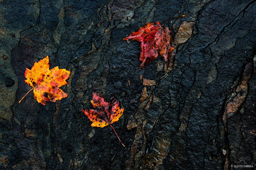 A contrived arrangement of maple leaves along a delicate ridge of shale rock