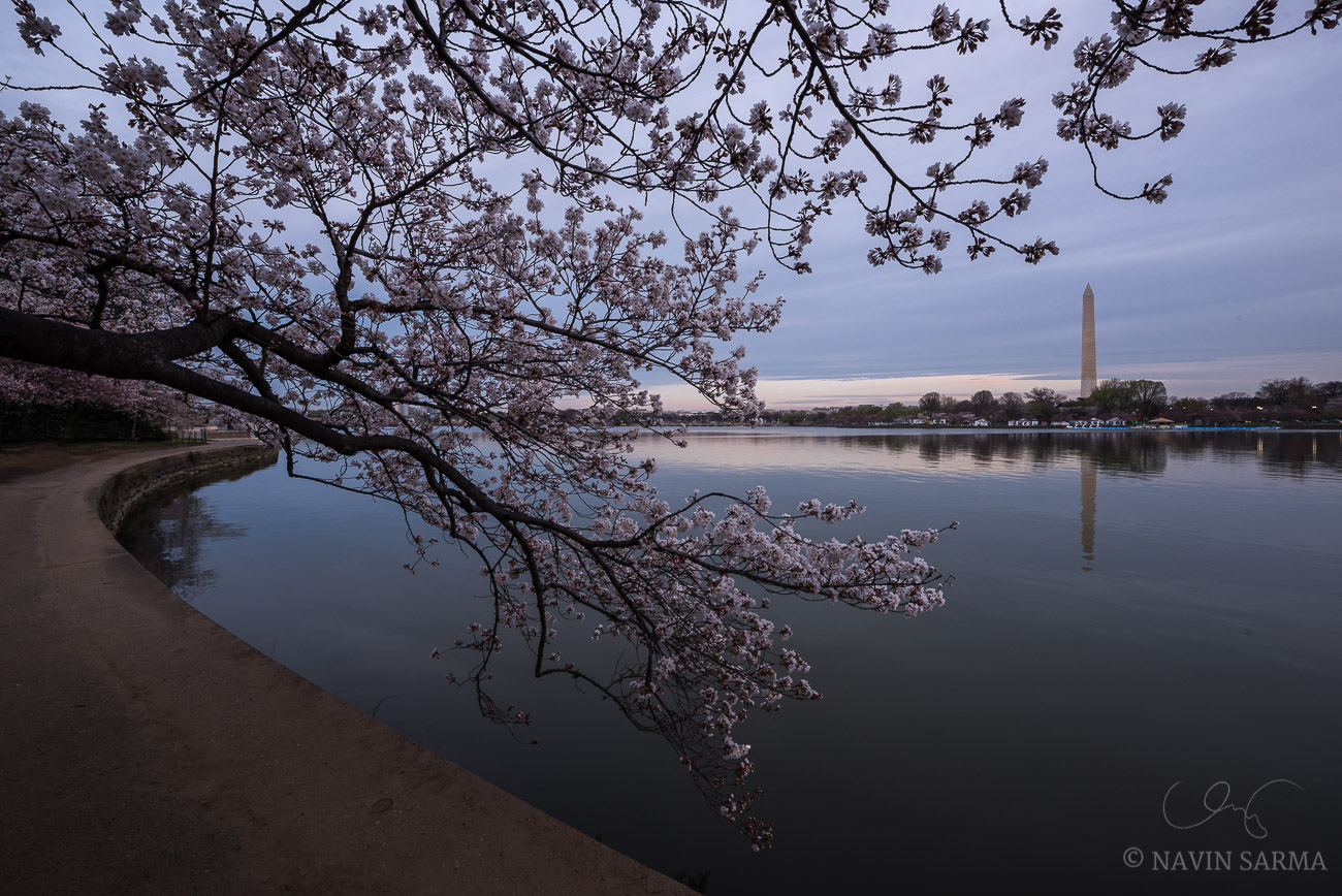 Cherry blossoms begin to bloom during the 2016 cherry blossom festival