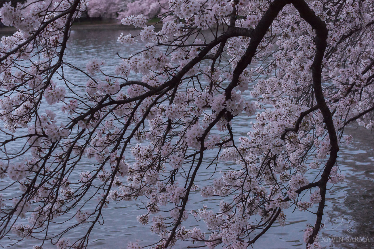Cherry blossoms draping over the Tidal Basin