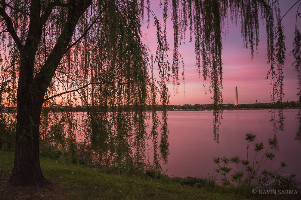 Vibrant pinks at sunset through the draping of willow trees that adorn the Mount Vernon Trail