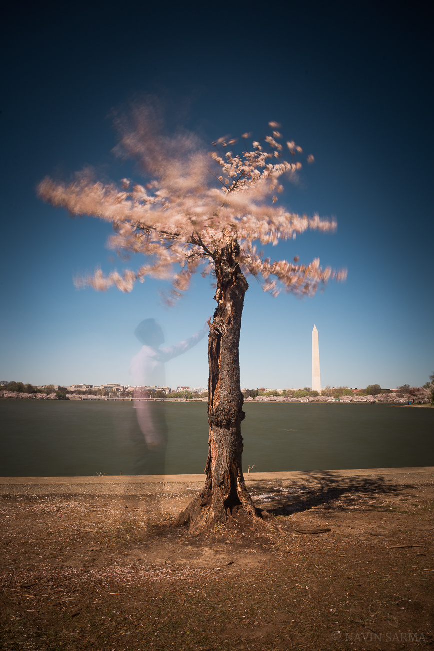 Washington DC Cherry Blossoms 2016