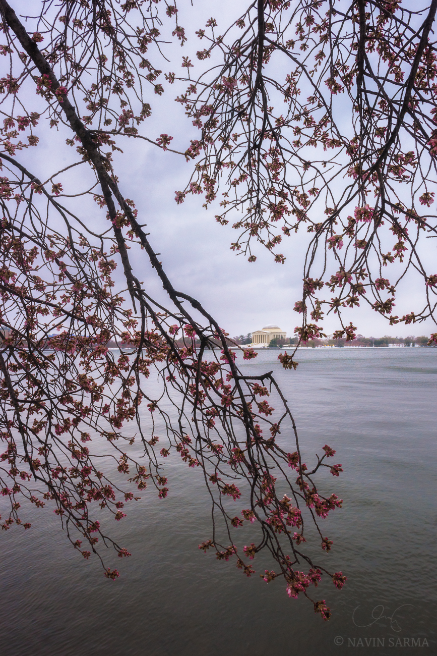 Jefferson Memorial Frozen Blossoms
