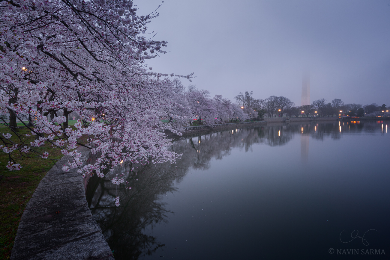 Cherry blossoms line the Tidal Basin during a foggy sunrise