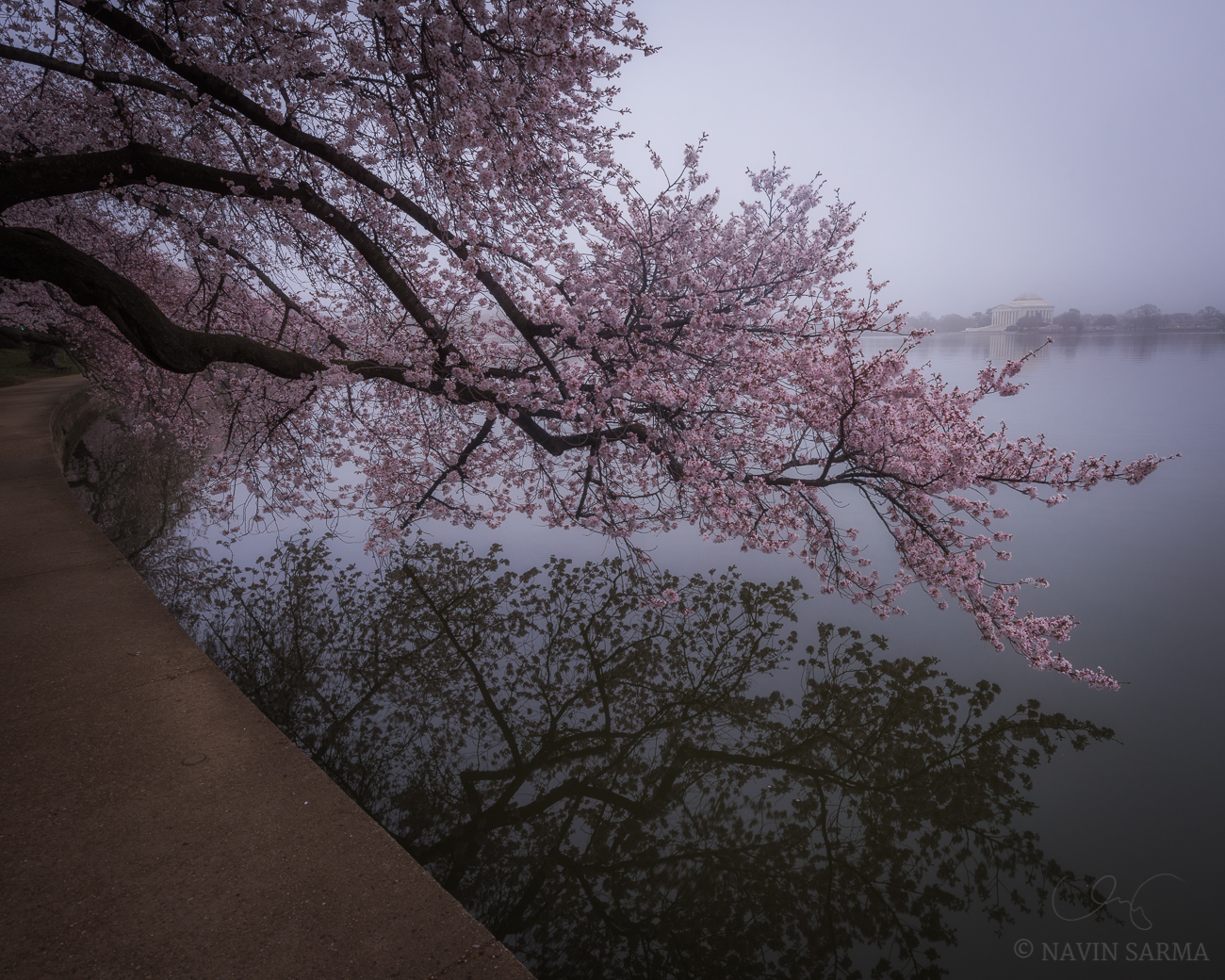 Cherry Blossoms and fog surround the Jefferson Memorial