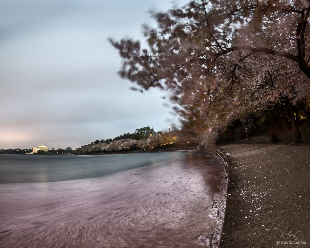 Fallen petals act as somber, graceful gifts from the Cherry Blossom peak at the Tidal Basin