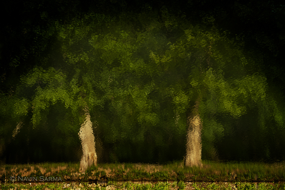A pair of lush green trees in unison as reflected in the C&O Canal
