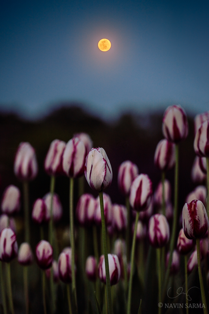 The full moon glows and basks a bloom of tulips with light just past sunset