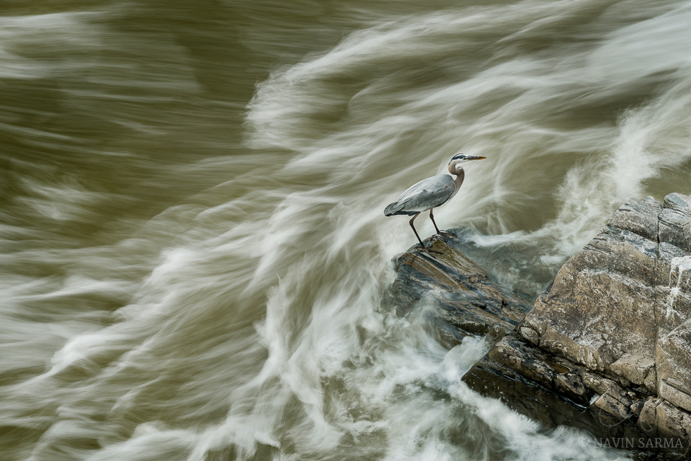 A great blue heron hunts the edges of rock at Great Falls Park, Virginia